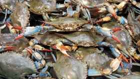 La imparable invasión del cangrejo azul en el Mediterráneo