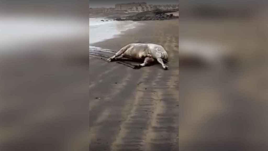Toro muerto en El Médano.