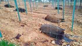 Jabalíes de la finca Valles de Silvadillo, decapitados. Foto: Jara y Sedal