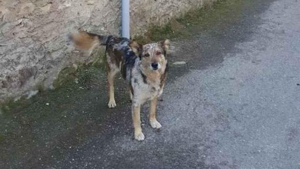 Pol, el perro carea del alcalde de Matillana del Torío, que apareció muerto en la piscina municipal