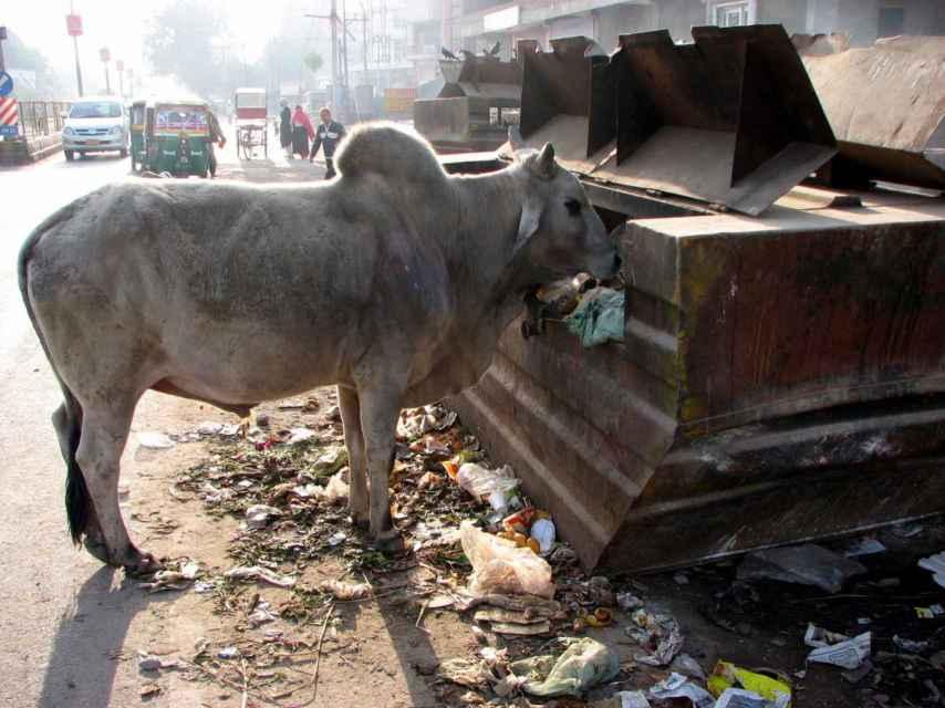 La India no sabe qué hacer con sus vacas