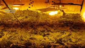 La Guardia Civil incauta 3.334 plantas de marihuana en tres plantaciones en Toledo.