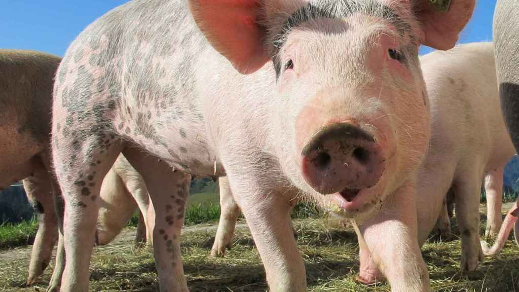 Reactivan la función de las células cerebrales de un cerdos.