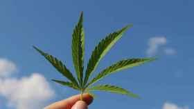 Una persona sostiene una hoja de cannabis.