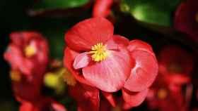 Guía práctica del cuidado de una begonia