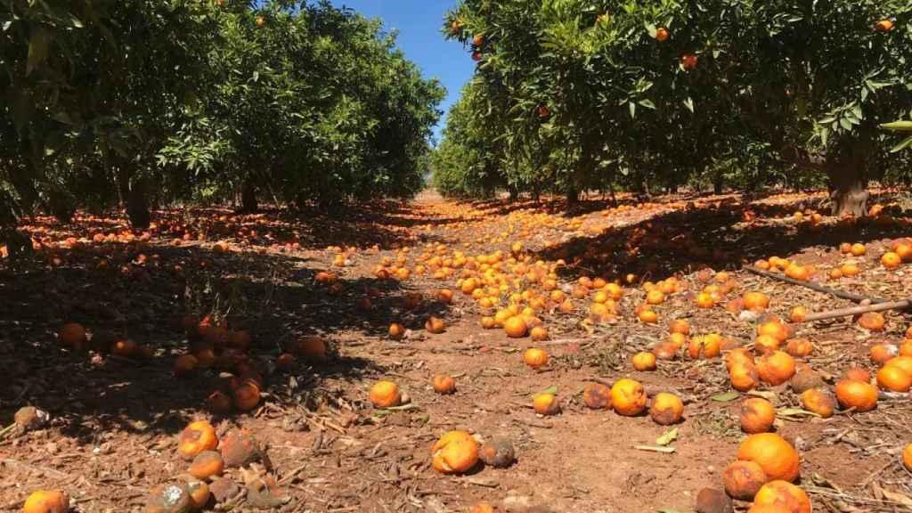 En la imagen, un campo lleno de naranjas desperdiciadas