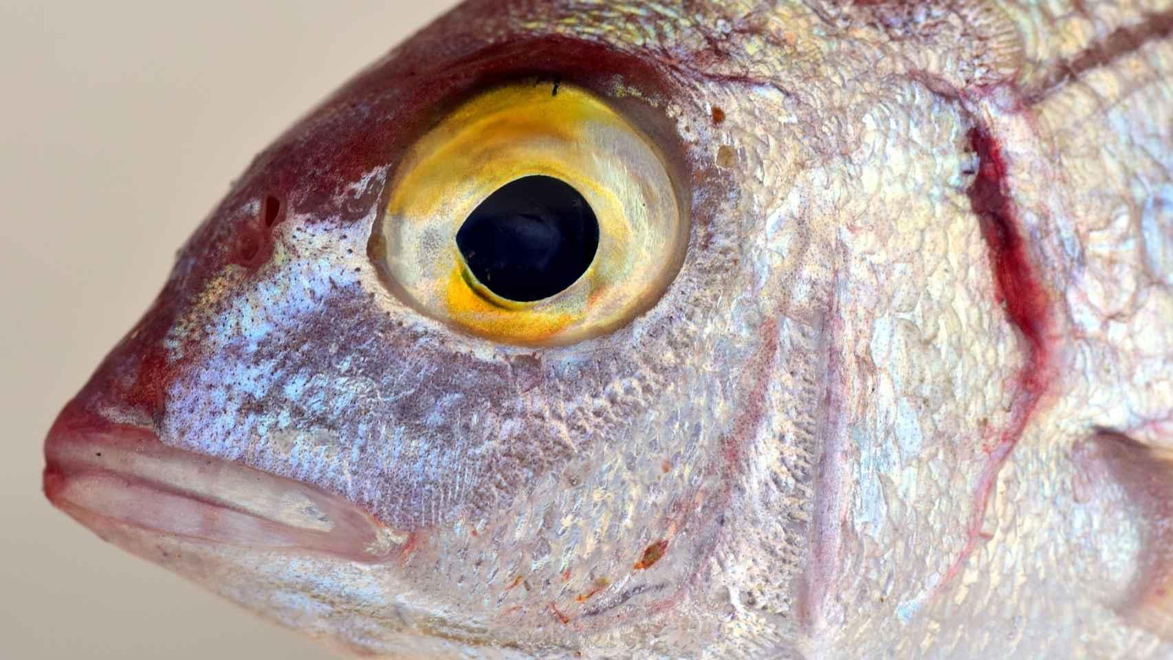 El mercurio va pasando de un pez a otro por la cadena trófica.
