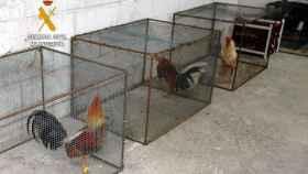 Algunos de los gallos que ha encontrado la Guardia Civil