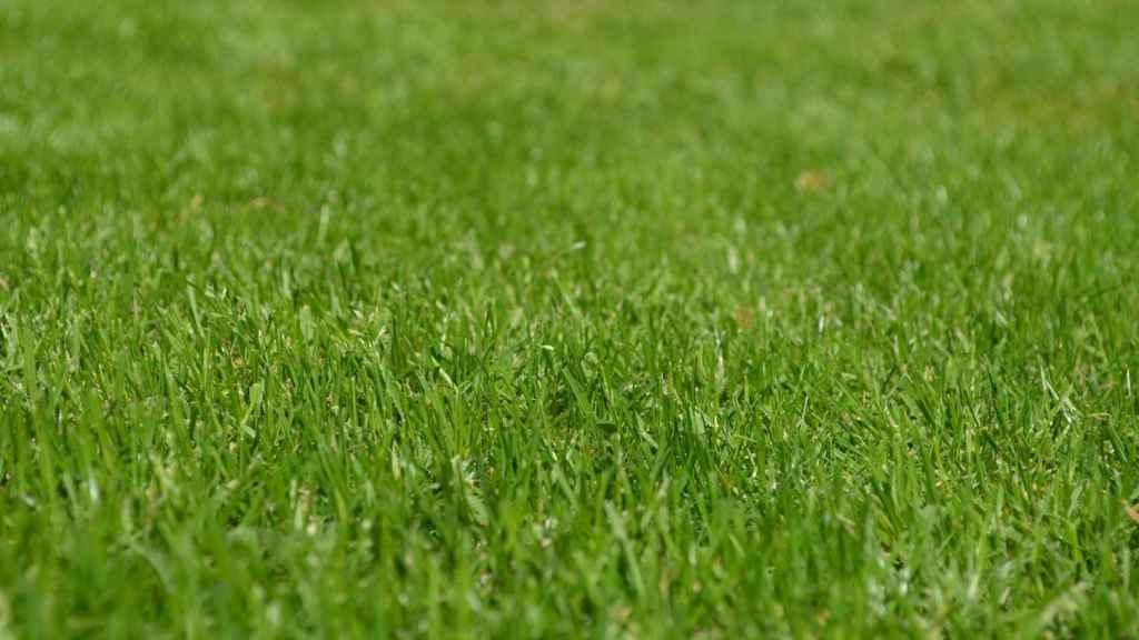 Los requisitos de sembrar el césped natural