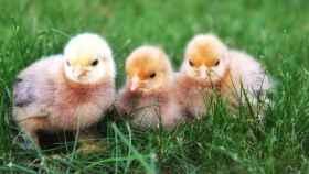 tres pollitos