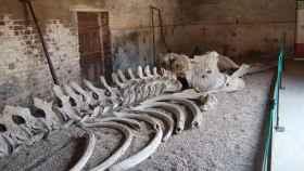 Los huesos de la ballena que inspiró 'Moby Dick', antes de ser trasladados al salón del Burton Constable.