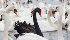 cisne negro blanco