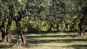 Apadrinar un olivo, la nueva forma de ayudar a diferentes causas sociales