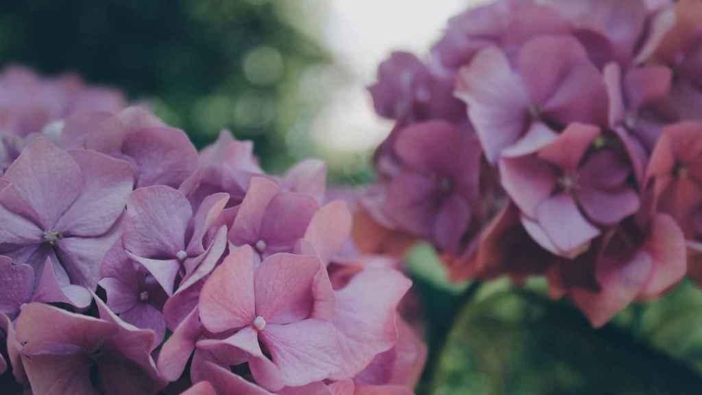 La hortensia, una flor milenaria