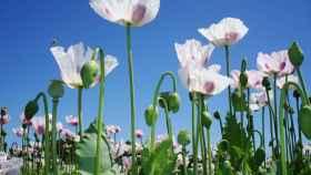 Plantación de amapola blanca. Foto de archivo de Europa Press
