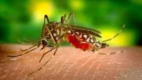 Los mosquitos, la plaga del verano