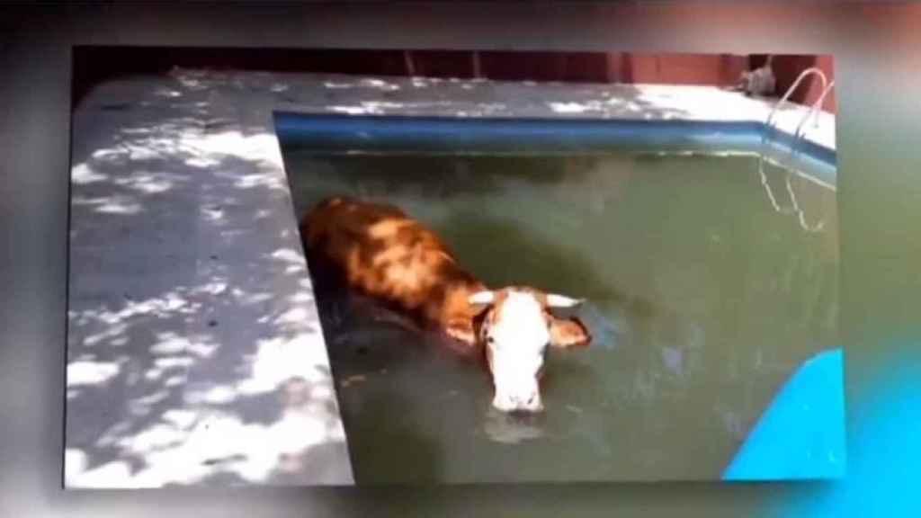 La vaca rescatada por la Policía en su plácido retiro veraniego.