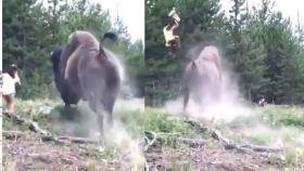 El impactante vídeo de un bisonte embistiendo a una niña de 9 años
