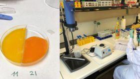 Yemas de huevo preparadas para su análisis en el laboratorio del Área de Tecnología de los Alimentos en la Facultad de Veterinaria de la Universidad de Santiago de Compostela en el campus de Lugo. / Gema Puertas