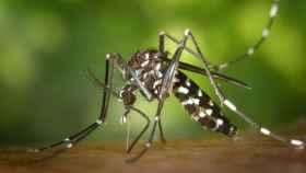 El mosquito tigre ha llegado para quedarse