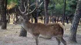 zamora-faun-ciervos