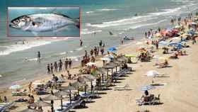 A la izquierda, el pez 'golpar' la especie que ha mordida a la mujer en la playa de 'El Rebollo' en Elche.
