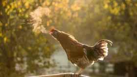 Tras ser abandonados por granjeros, los pollos se han reproducido y crecido exponencialmente.