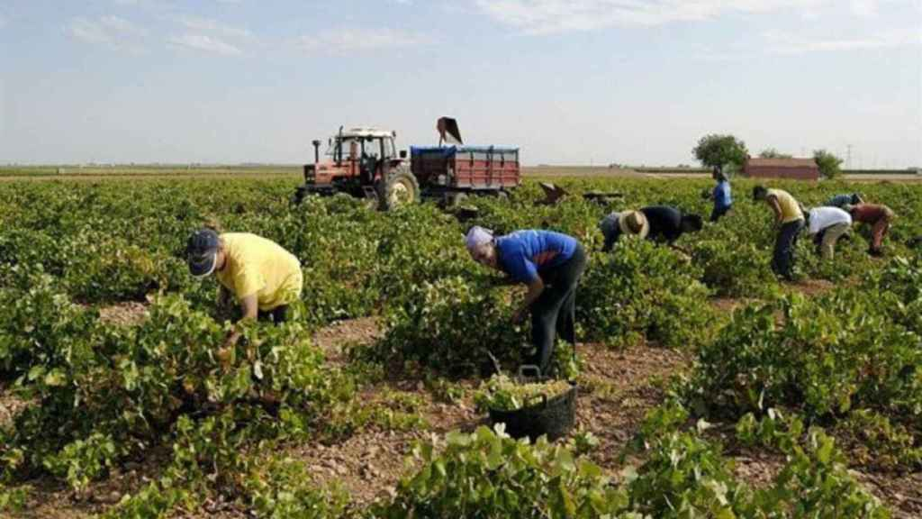Zbiór winogron w Kastylii-La Manchy (zdjęcie pliku).
