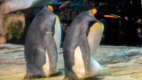Skipper y Ping, dos machos de pingüinos rey