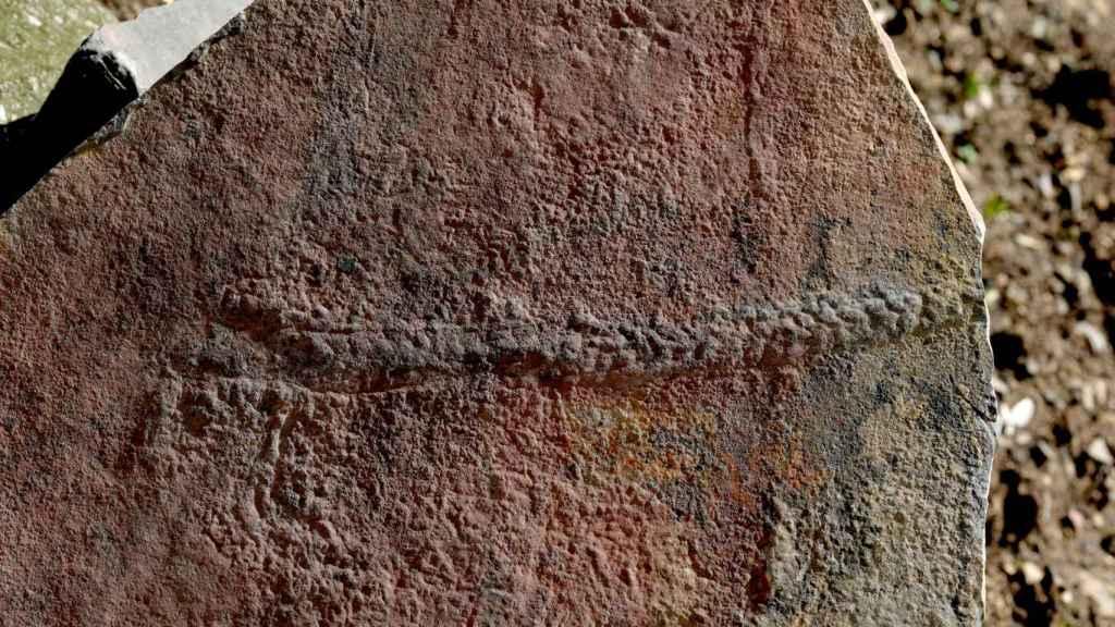 El rastro fosilizado que dejó el Yilingia spiciformis hace 550 millones de años / Virginia Tech College of Science.