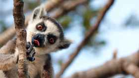 Imagen de archivo de un lemur.