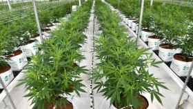 El cannabis se encontraba en un vivero legal de cáñamo en Llíria (Valencia).