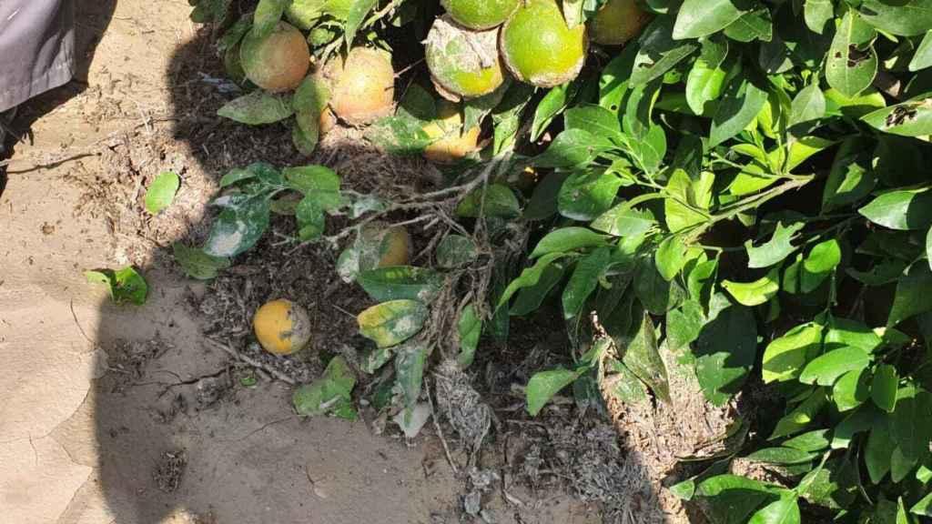 Estado en el que se encontraban los pomelos de la finca después del temporal, con el fruto embarrado.
