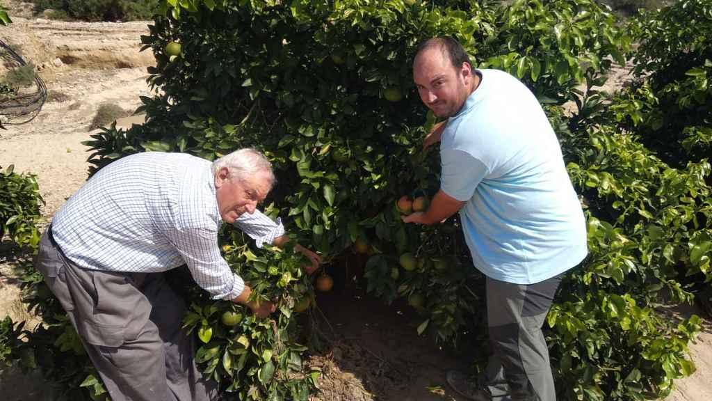 Pedro Antonio junto a su padre, Pedro, conocido como Perico 'El Colorao', examinando el estado de los pomelos después del paso de la DANA.