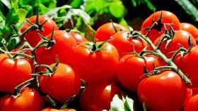 Todo sobre el cultivo de tomates ecológicos