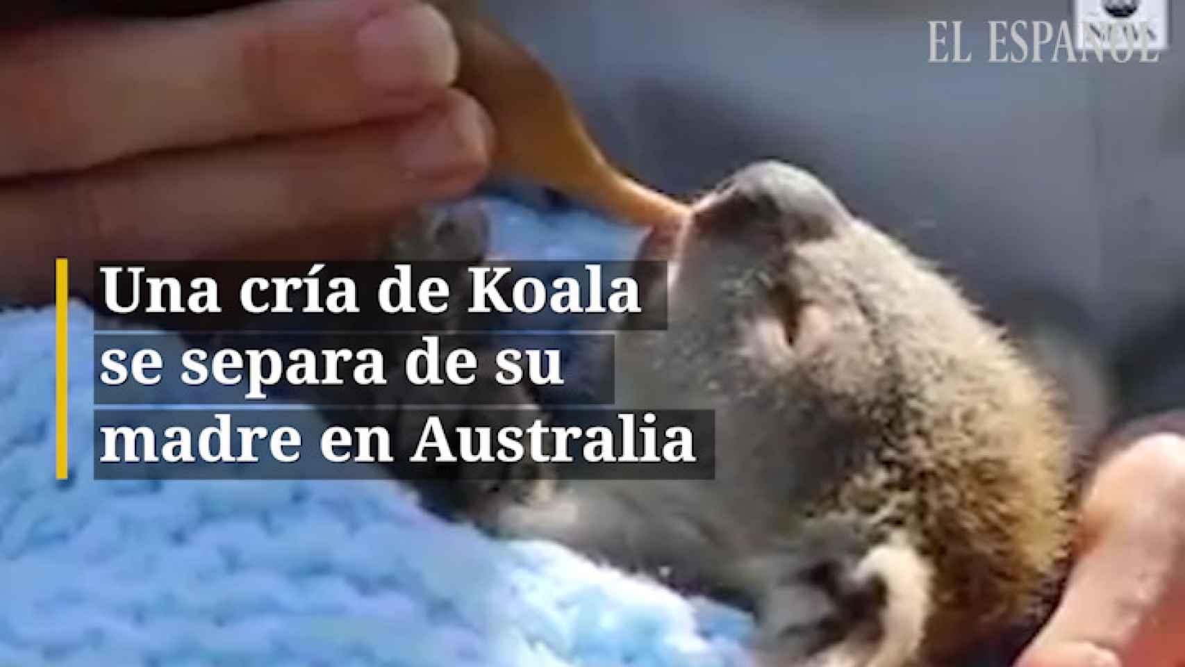 Una cría de Koala se separa de su madre