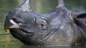 El último rinoceronte de Java del Vietnam murió a manos de los furtivos en 2010.