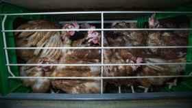 Así se enjaula a las gallinas en Europa.