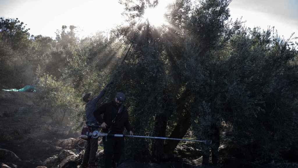 El sol haciendo aparición entre los olivos.