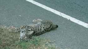 Imagen de archivo de un lince atropellado, compartida por WWF