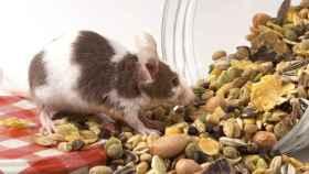 Ratones alimentados con comida rica en sal.