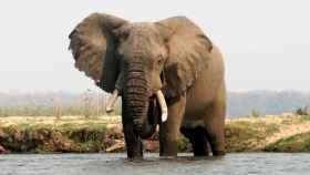 Un elefante cruza el río Zambeze.