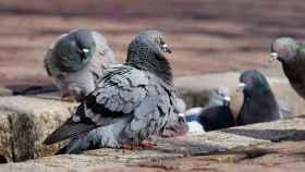 ¿Quiere ahuyentar palomas?, descubra lo que mejor funciona