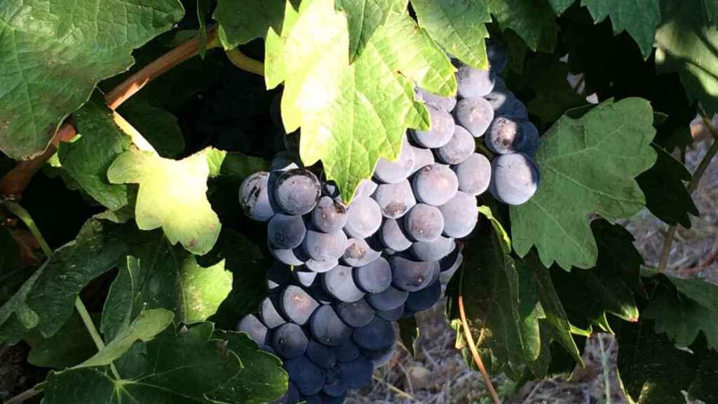 Uvas de la variedad Tempranillo