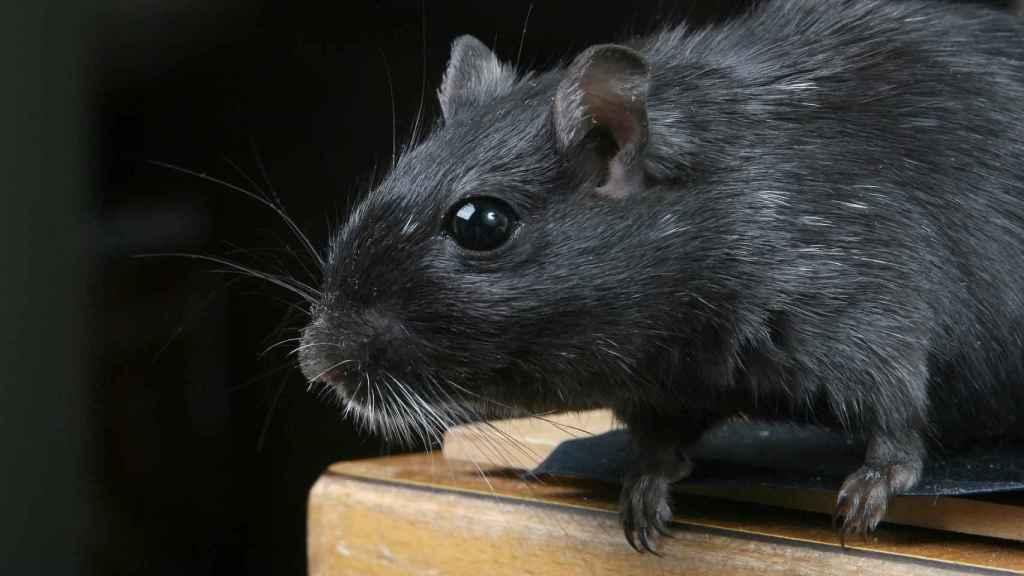 Una imagen de archivo de un roedor.