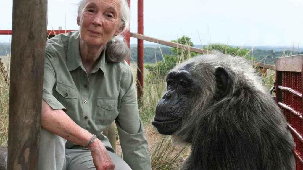 La primatóloga Jane Goodall junto a un chimpancé.
