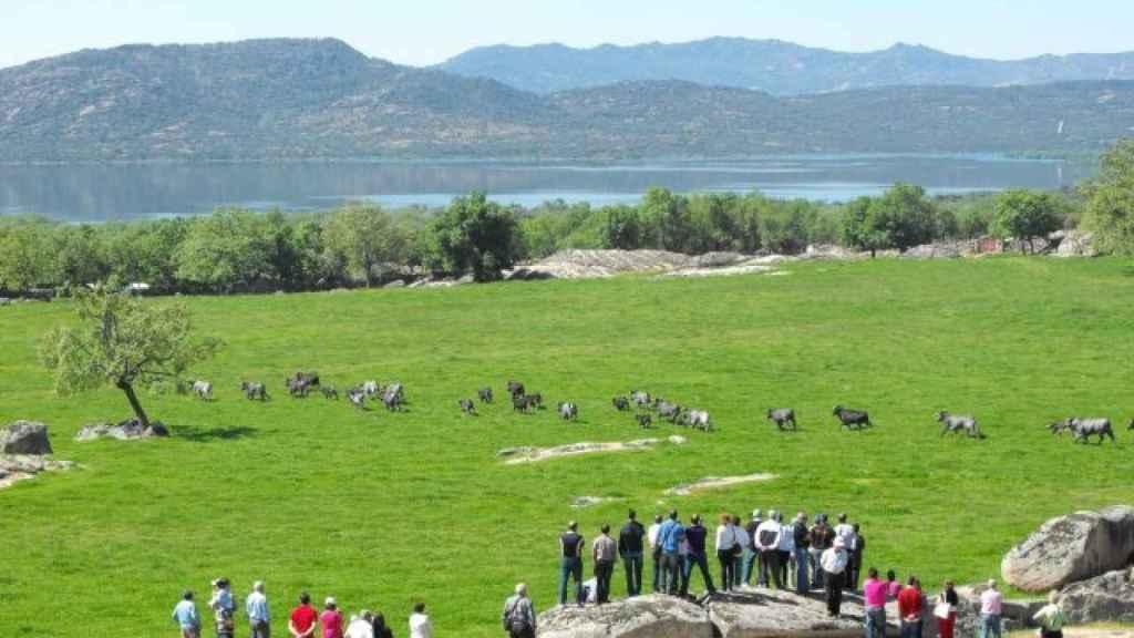 Reses de la ganadería madrileña Flor de Jara