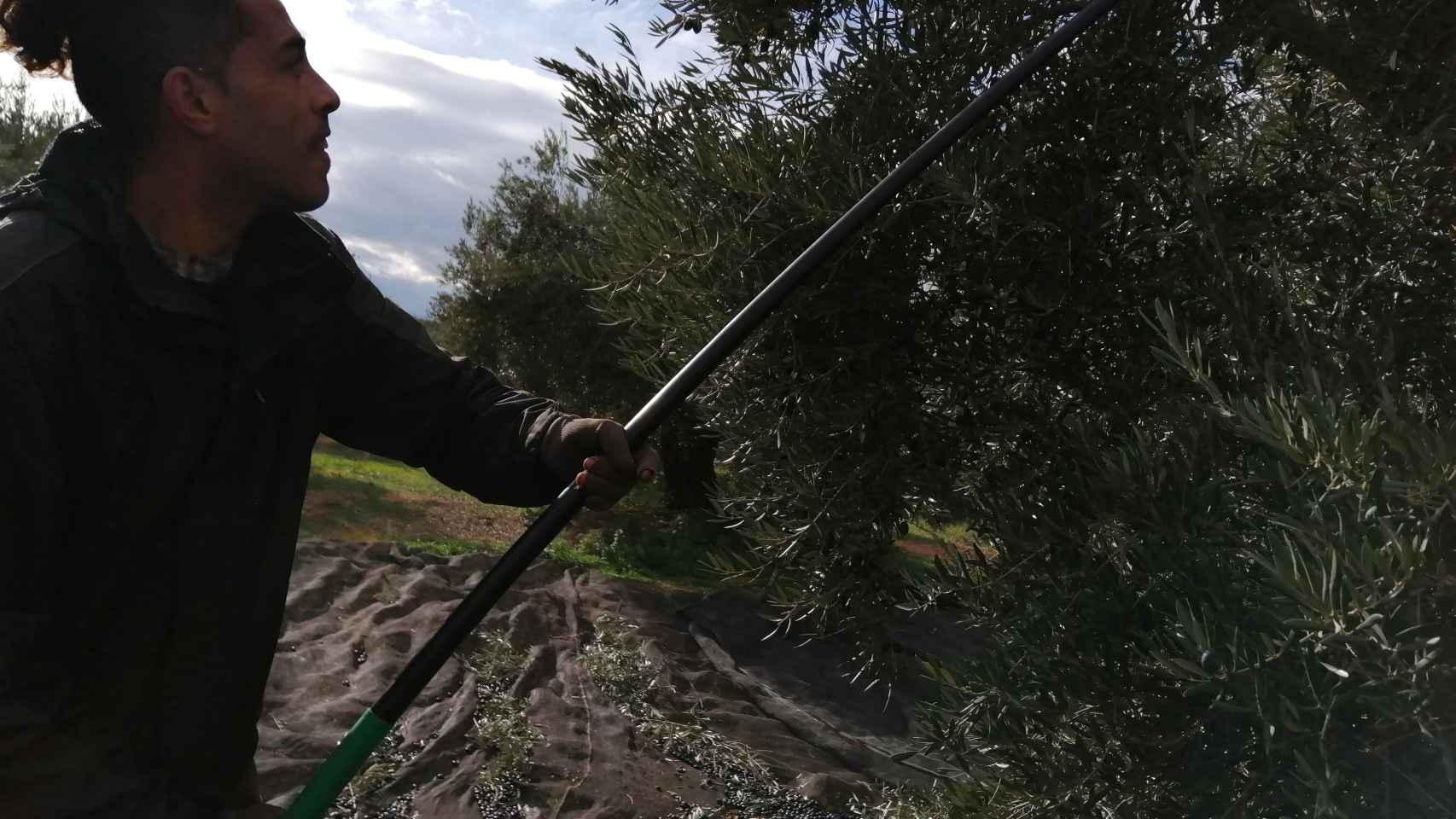 Un trabajador varea el olivo durante una jornada de aceituna.