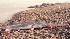 Uno de los últimos peces remo del Yangtsé encontrados en su medio natural.