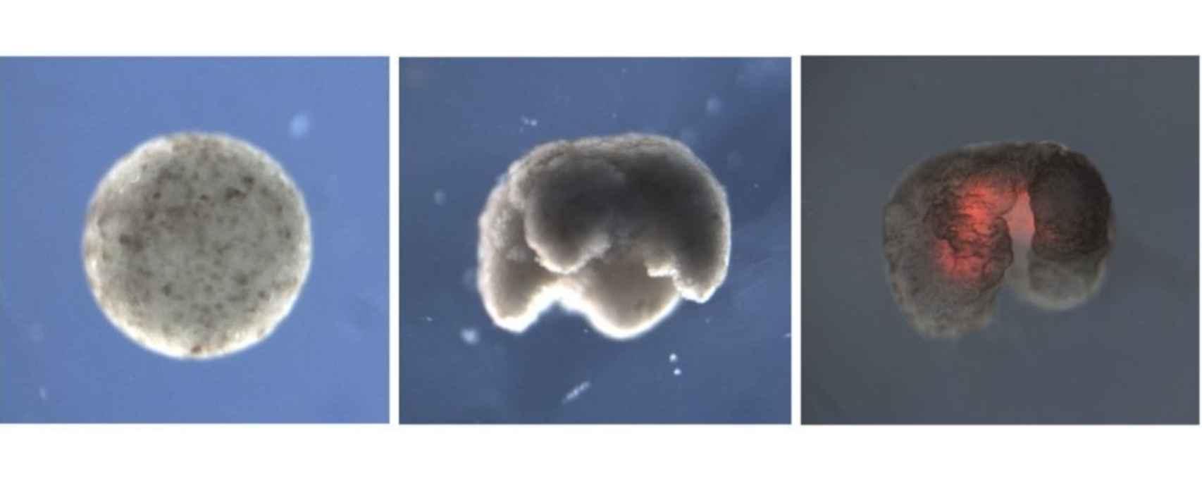 Proceso de formación del xenobot